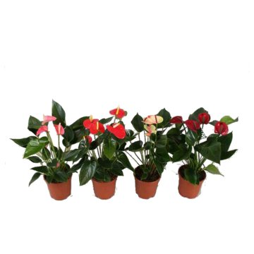 ANTHURIUM XL MIX EXCLUSIVE          FLAMINGÓVIRÁG CS: 17 CM,N:50 CM