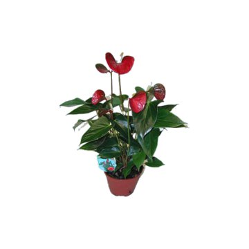 ANTHURIUM MIX CS: 12 CM             FLAMINGÓVIRÁG            50 DB/POLC