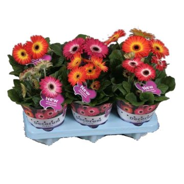 GERBERA TWISTER MIX CS:12CM,N:25CM