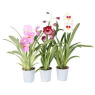 MILTONIA ORCHIDEA MIX CS: 12 CM