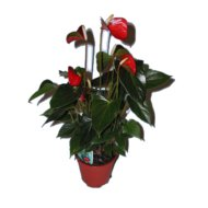 ANTHURIUM MIX CS: 14 CM             FLAMINGÓVIRÁG