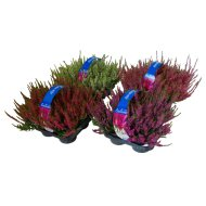 CALLUNA VULGARIS 'BEAUTY LADIES'    CSARAB 4DB-OS PACK
