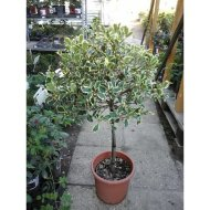 MAGYAL MIX C2                       ILEX OSMANTHUS MIX