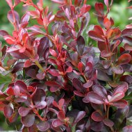 BORBOLYA MIX C2                     BERBERIS