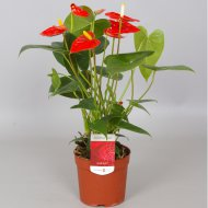 FLAMINGÓVIRÁG (ANTHURIUM MIX) 45CM