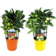 CITRUS MIX CS:12CM CALAMONDIN/CITROM